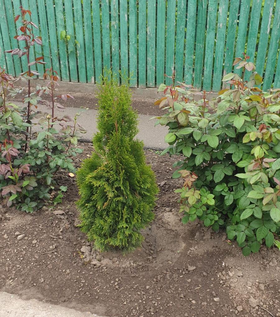 arbustii furati au fost replantati de hoti